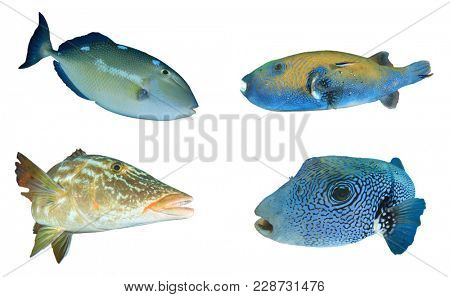 Reef fish isolated. Triggerfish, Puffer fish and Emperor fish on white background