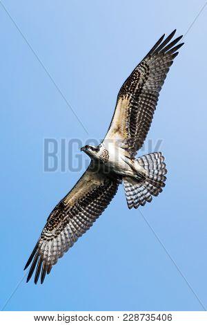 Osprey In Flight Against Clear Blue Sky