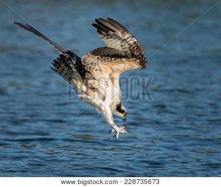 Osprey Diving In Water To Catch A Menahden Fish