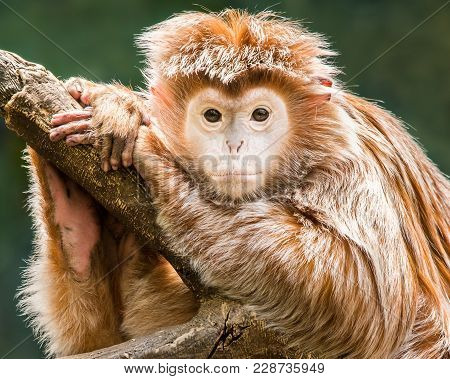 Portrait Of A Baby Ebony Langur On A Branch Against A Dark Background