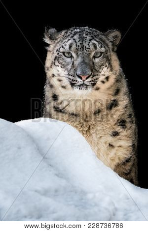 Portrait Of A Snow Leopard Sitting In The Snow And Basking In The Sun