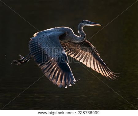 Backlit Great Blue Heron Taking Off From Water