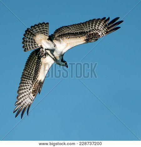 Osprey In Flight Overhead Against Blue Sky