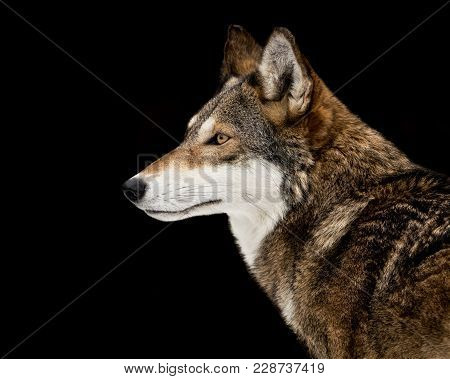 Profile Portrait Of Red Wolf Against Black Background