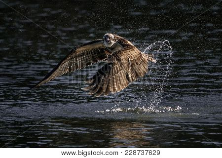Osprey In Flight Taking Off From Water After Fishing