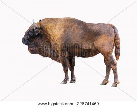 Bison isolated on white background. Muscular buffalo side view. A powerful wild animal with large antlers looks away.