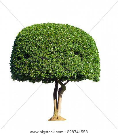 A tree with a dense crown. Stranded park bush with green foliage. Isolated over white background