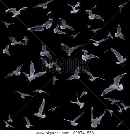 collection of seagulls in flight. sea birds. Isolated on black background.