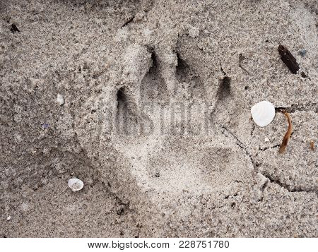Dog Footprints In Sand On Beach At Sunny Day. Detail In Salt Wet Sand