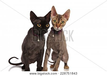 cute couple of cats wearing bell collars sitting together on white background
