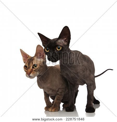 two cute cats standing together and look to side on white background