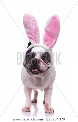french bulldog wearing easter bunny ears standing and looks to side on white background