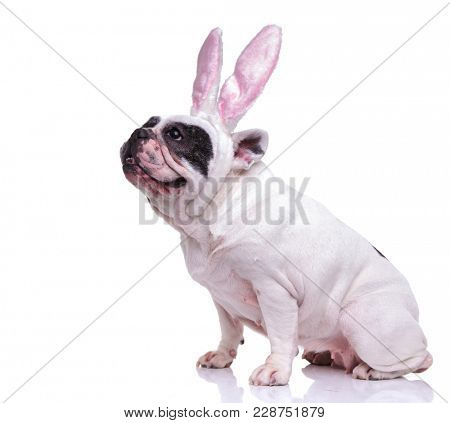 side view of a seated french bulldog wearing easter bunny ears and looks up on white background