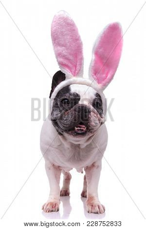 adorable easter bunny french bulldog standing on white background