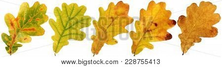 Oak Leaf Isolated On White Background. Autumn Fallen Green, Yellow And Gold Leaves. Foliage, Herbari