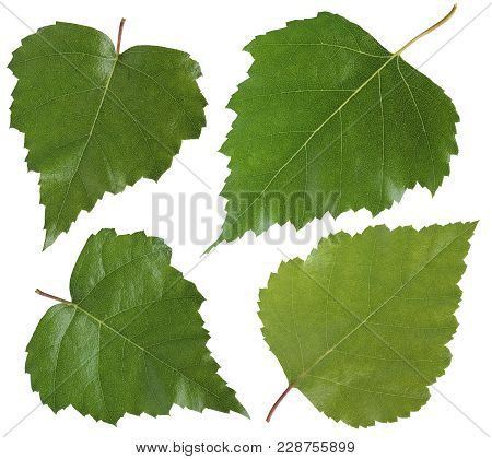 Leaf Of Birch Tree Isolated On White Background. Collection Of Fresh Green Leaves. Herbarium. Foliag
