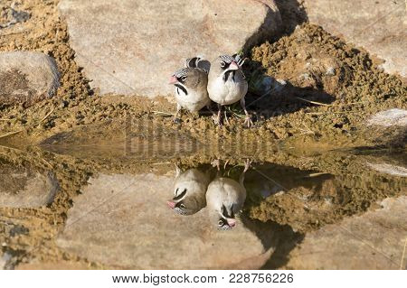 Scaly-feathered Finch Drinks Water From A Waterhole In The Kalahari Desert