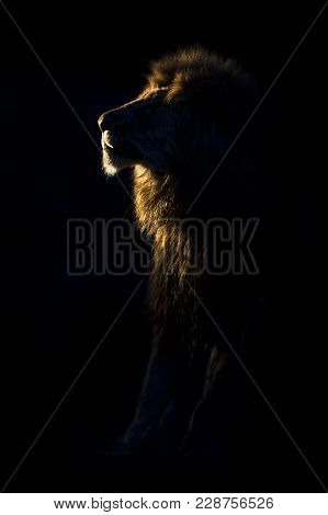 Silhouette Of An Adult Lion Male With Huge Mane Resting In The Darkness