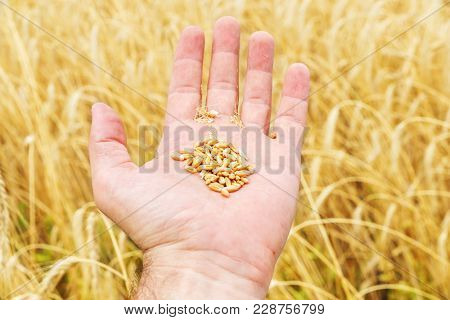 The farmer's hand to show the harvest over the golden field