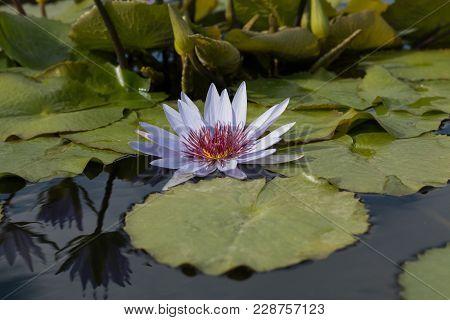 Beautiful Blooming Flower Nymphaea - Blue Waterlily - Aquatic Vegetation, Water Plants