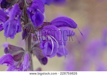 Purple (violet) Spring Flowers In A Garden. Purple (violet) Spring Flowers.  Purple Spring Flower Bl
