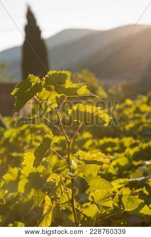 Grapes, Leaves Of The Grapes Are Lit By Warm Sunlight, Ripe Grapes Close-up