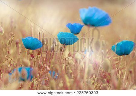 Papaver Rhoeas (corn Poppy Corn Rose Field Poppy Flanders Poppy Blue Poppy Blue Weed Coquelicot) In