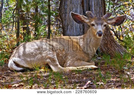 Bambi Relaxing In The Kaibab Forest