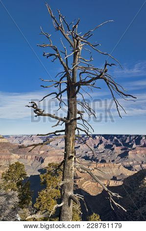 A Dead Pine Tree On The Edge Of The South Rim Of The Grand Canyon.