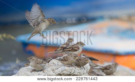 House Sparrows, Passeridae, Passer Domesticus, Are Playing On The Rock In The Summer Evening, Agains