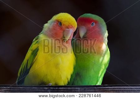 Two Colorful Parrots, Rosy-faced Lovebird, Agapornis Roseicollis, Also Known As Rosy-collared Or Pea
