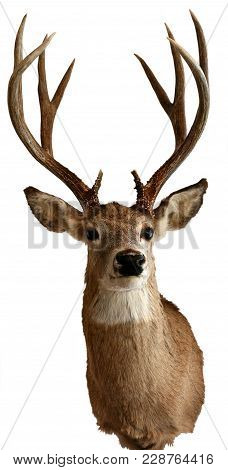 Male White-tailed Deer Taxidermy Objects Isolated Animals Theme