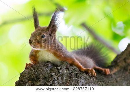 Eurasioan Red Squirrel, Sciurus Vulgaris, In The Tree Top, Against Young Green Leaves