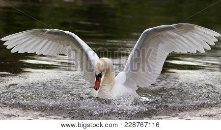 White Swan Spreading It's Wings