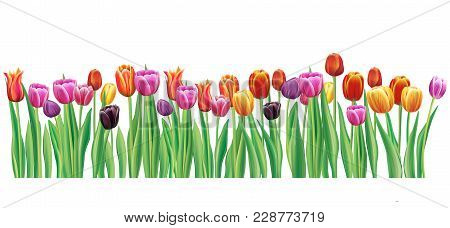Border With Realistic Multicolor Vector Tulips Flowers