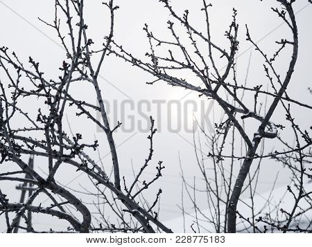 Dark Winter Tree Branches Withount Leaves On The Grey Sky Background. Naked Plum Tree Brunches And G