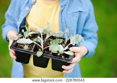 Little Boy Holding Seedling In Plastic Pots On The Domestic Garden At Summer Sunny Day. Gardening Ac