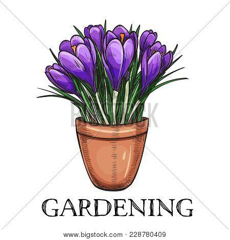 Crocus In A Pot. Hand Drawn Sketch Garden Flowers For Gardening Desing Priduction.