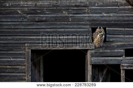 Great Horned Owl In Barn Window Abandoned