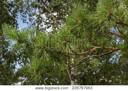 Green Immature Lumps On A Pine Branch