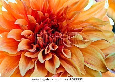 Closeup Of Vibrant Orange Dahlia In Autumn