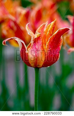 Closeup Of A Red, Yellow And Orange Tulip In The Rain