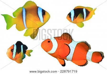 Clownfish (Anemonefish) species. Red Sea, Clark's and Clown Anemonefishes isolated on white background