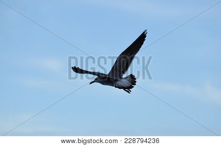 Photo Sea Eagle Turn In The Fly