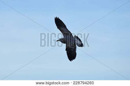 Picture Of A Sea Eagle Flying At Beach