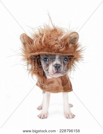 tiny french bulldog puppy in a lion costume isolated on a white background