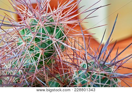 Cactus With Thick Long And Sharp Thorns On Orange Background, Close-up. Horizontal Photo.