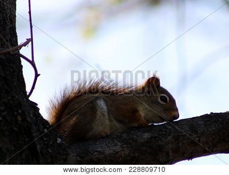 A Red Squirrel Sitting On A Tree Branch In Spring Time.