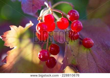 Closeup Of Bunches Of Red Berries Of A Guelder Rose Or Viburnum. Shrub On A Sunny Day At The End Of