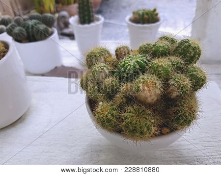 Spiky Cactus In Small White Pots For Room Decoration